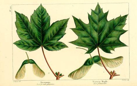 arbres-amerique-du-nord-1349-sycomore---sycamore---acer-pseudoplatanus.jpg